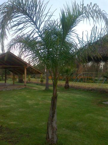 Palma cocoplumoso jardineria xochimilco Jardineria xochimilco