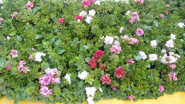 Azalea jardineria xochimilco for Jardineria xochimilco