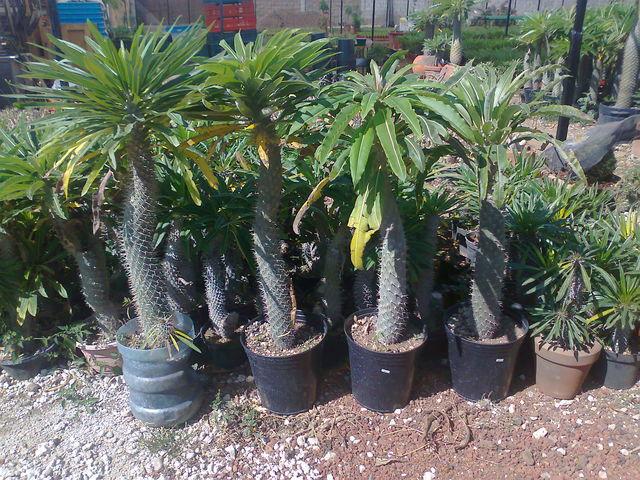Palma de madascar 1 mtro jardineria xochimilco for Jardineros en xochimilco