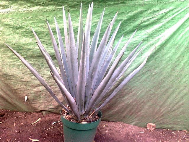 Maguey jardineria xochimilco for Jardineria xochimilco