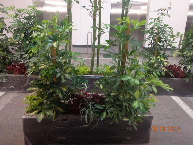 Jardinera de fibra de vidrio bamb aralia arbolicola y for Jardineros en xochimilco