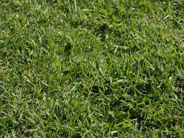 Pasto en rollo tipo alfonbra jardineria xochimilco for Jardineros en xochimilco