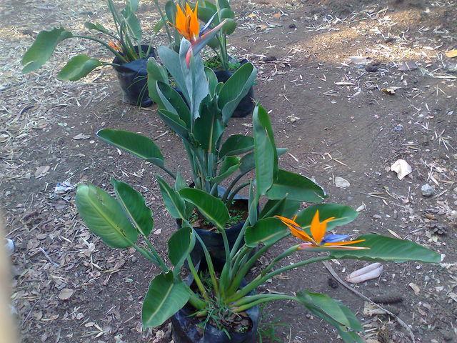 Ave de paraiso jardineria xochimilco for Jardineria xochimilco