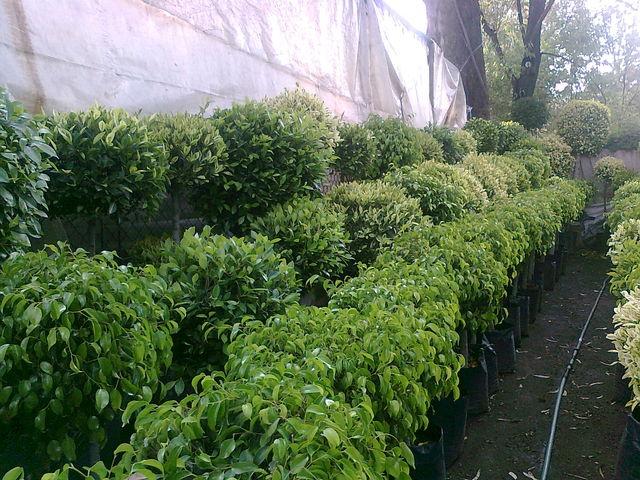 Laurel de bola1 jardineria xochimilco for Jardineria xochimilco