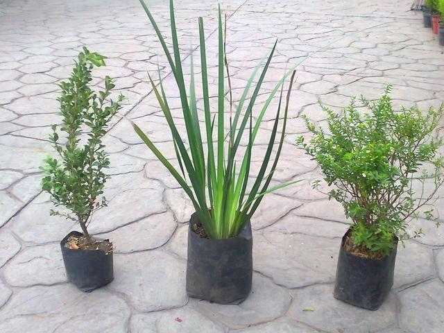 Arrayan liriope trueno jardineria xochimilco for Jardineros en xochimilco