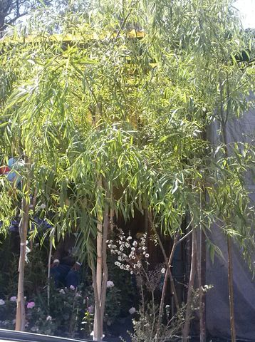Sauce llor n jardineria xochimilco for Jardineros en xochimilco